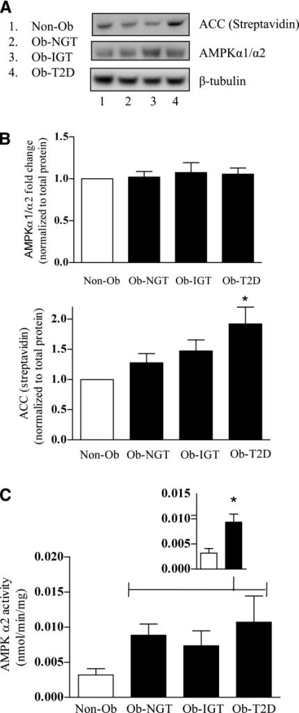 AMPK signaling in human myotubes from Non-Ob and obese subjects. A: Lysates were immunoblotted to assess the phosphorylation status of ACC and the total protein abundance of AMPK-α1/α2 and ACC (streptavidin). Equal gel loading was ascertained by immunoblotting with an antibody against β-tubulin. B: The effect of obesity (filled bars) on AMPK-α1/α2 and ACC (streptavidin) abundance was quantified and expressed as a fold change from Non-Ob cells (open bars). C: Lysates were immunoprecipitated with a specific antibody against AMPK-α2 before measurement of AMPK activity. The inset graph (C) indicates lean vs. obese (NGT + IGT + T2D). Values are mean ± SEM from five separate experiments. *P < 0.05 vs. Non-Ob.
