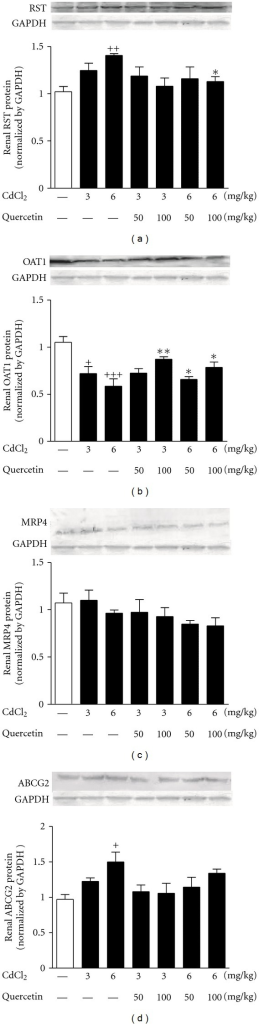 Effects of a 4-week treatment of CdCl2 and coadministration of quercetin on expression of RST (a), OAT1 (b), MRP4 (c), and ABCG2 (d) at protein levels in renal cortex of rats. The protein levels were normalized by GAPDH. Values are mean ± SEM of n = 4–6 in each group. P value CdCl2 versus control at +<0.05, ++<0.01, +++<0.001; treatment versus CdCl2 at *<0.05, and **<0.01 for LSD post hoc test.