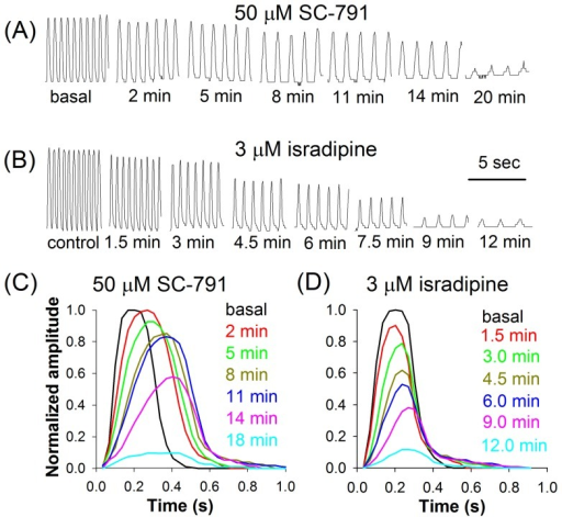 Heartbeat disruption by SC-791 and isradipine.Development of heartbeat stoppage in the presence of 50 μM SC-791 (A) or 3 μM isradipine (B). The corresponding averaged contraction waveforms demonstrate similarities (decrease in amplitude) and differences (prolongation of contraction) between the effects of SC-791 (C) and isradipine (D); each waveform is an average of 10 to 20 individual contraction waveforms.