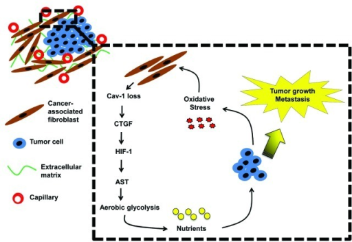 autophagy-senescence transition in tumor stroma promotes anabolic