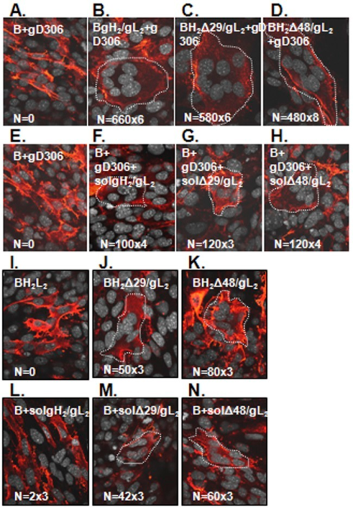 N-terminal gH/gL truncations work at levels comparable to those of wild-type gH2/gL2. C10 cells were transfected with full-length gB (A) and gH/gL: wt gH2/gL2 (B), gHΔ29/gL2 (C), or gHΔ48/gL2 (D). Fusion was triggered with soluble gD306. C10 cells transfected with gB were triggered with a mixture of gD306 (E) and either soluble wt gH2/gL2 (F), truncated gHΔ29t/gL2 (G), or truncated gHΔ48t/gL2 (H). gHΔ48/gL2 is an activated form of gH/gL. C10 cells were transfected with full-length gB, gL, and wild-type gH2 (I), gHΔ29 (J), or gHΔ48 plasmids (K). In a parallel experiment, cells were transfected with gB plasmid only; at 6 h posttransfection, 250 µg/ml of soluble gH2t/gL2 (L), gHΔ29t/gL2 (M), or gHΔ48t/gL2 (N) was added. All coverslips were examined by immunofluorescence with gB MAbs (red). Nuclei were stained with propidium iodide and artificially colored gray using Volocity software. Syncytia are outlined with white dotted lines. N, number of syncytia from a coverslip multiplied by the average number of nuclei per syncytia.