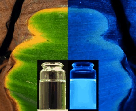 Photographs of a banana leaf with green and yellow sections, taken with a mounted camera, as well as of an FCC containing solution (insets), under day light (left) and UV light (at 366 nm, right).