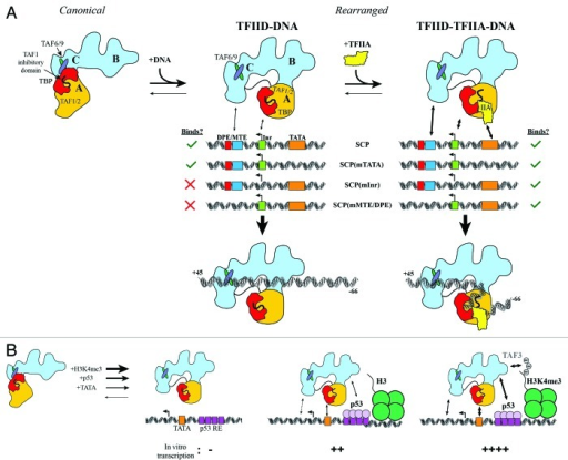 Figure 2. Regulatory interplay between co-activators, activators, histone modifications and promoter DNA binding by TFIID. (A) TFIID exists in both canonical and rearranged conformational states, but only the rearranged state interacts efficiently with SCP DNA. Without TFIIA, TFIID interacts only with SCP and SCP(mTATA) (left). TFIIA facilitates TFIID binding to all mutant promoters (right). (B) TATA box DNA, p53, and H3K4me3 likely stabilize TFIID in a rearranged conformation, as these factors cooperatively stimulate transcription initiation by TFIID. Adapted from.43