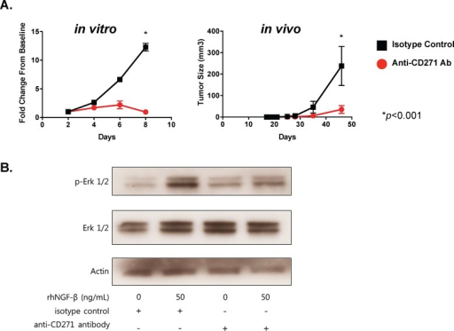 Targeting of CD271 with monoclonal antibody inhibits tumor formation and NGF-induced Erk phosphorylation(A) PCI-13 cells were incubated with either azide-free monoclonal antibody specific for CD271 or isotype control IgG for 30 min, washed, and then assessed for cell proliferation in vitro and tumor growth in vivo. The graph on the left shows MTT cell viability results over 8 days, expressed as fold-change from the day 0 baseline. The graph on the right shows tumor growth from cells injected subcutaneously into the flanks of Rag−/−γc−/− mice. Each cohort consists of 4 mice. Experiments were performed at least two times. (B) PCI-13 cells (grown in serum-free medium for 24 hrs) were incubated in vitro with monoclonal antibody to CD271 or isotype control IgG for 30 min and then with or without recombinant human NGF for 1 hr. Cell lysates were subjected to gel electrophoresis, and Western immunoblot analysis was performed with antibody specific for phosphorylated-Erk (p-Erk1/2), total Erk, and actin. All experiments performed two or more times.