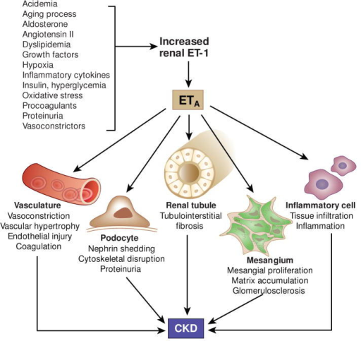 Pathophysiological role of endothelin in CKD development. Intrinsic (aging), physico-chemical (acidemia, hypoxia), biochemical (cytokines, oxidative stress, growth factors, procoagulants), metabolic (insulin, hyperglycemia, dyslipidemia), vasoactive (angiotensin II, aldosterone, vasoconstrictors), and pathological factors (proteinuria) enhance renal endothelin-1 (ET-1) production. CKD development is associated with increased formation of renal ET-1 which - primarily via ETA receptors – promotes renal injury and fibrosis through modulation of multiple renal cell types.