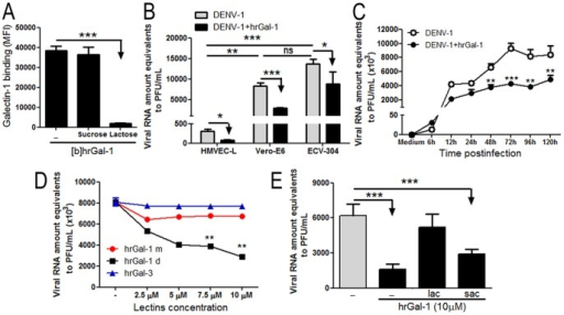 Treatment with human recombinant Gal-1 inhibits DENV-1 in vitro infection.(A) Biotinylated-hrGal-1 (20 µg/mL) was incubated with ECV-304 cells in presence or absence of 40 mM lactose or sucrose for 1 hour at 4°C. The binding of biotinylated-hrGal-1 to ECV-304 cells surfaces was detected by staining with streptavidin-FITC and measured by flow cytometry. The analysis was performed using a Diva software (Becton Dickson) and results are expressed as mean mean fluorescence intensity (MFI)±SD. Tests were performed in triplicates. (B) HMVEC-L, Vero-E6 and ECV-304 cells were incubated with 10 µM hrGal-1 or only medium for 1 hour at 37°C. Following, cells were inoculated with DENV-1 at a MOI of 0.5 and cultivated for 72 hours. At 72 hours postinfection the supernatants were collected and the viral RNA amounts were quantified by Real-Time PCR. Results are shown as Viral RNA amounts equivalent to PFU/ml±SD from 3 assays performed in triplicates. (C) ECV-304 cells were treated with hrGal-1 and infected with DENV-1 as described in (B) for 120 hours. The supernatants were collected at the indicated times postinfection and the viral loads were quantified by Real-Time PCR as described in (B). (N = 3) (D) ECV-304 cells were incubated with increased concentrations of monomeric-Gal-1 (hrGal-1 m), dimeric-Gal-1 (hrGal-1 d) or galectin-3 (hrGal-3) for 1 hour at 37°C before inoculation with DENV-1 (MOI 0.5). Cells were cultivated for 72 hours at 37°C and viral load was quantified as described in (A) (N = 3). (E) ECV-304 cells were treated with hrGal-1 (10 µM) in the presence of 40 mM lactose (LAC) or 40 mM sucrose (SUC) and then infected with DENV-1 as described in (B), for 72 hours. The viral load was quantified as described in (B). Data are representative from three independent experiments. *p<0.01; **p<0.001; ***p<0.0001.