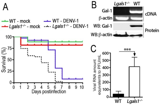 Gal-1 is physiologically relevant to in vivo infection with DENV-1.(A) Newborn WT and Lgals1–/– mice were intracerebraly infected with 106 PFU/ml of DENV-1 mouse-brain adapted or mock (supernatant from mouse brain not infected with DENV-1) and their mortality was monitored for 10 days. Results are shown as the percentage survival from five independent assays performed with 6–8 mice per group. (B) Total mRNA isolated from resident peritoneal macrophages of Gal-1-deficient (Lgals1–/–) and wild-type (WT) mice was converted into cDNA and the Gal-1 expression was analyzed using conventional PCR. The β-actin gene was used as an endogenous control. Alternatively, total protein from Lgals1–/– and WT macrophages were isolated and Gal-1 expression was quantified by western blot assay and normalized to β-actin expression. (C) Peritoneal resident macrophages from Lgals1–/– or WT mice were cultivated (5x105/well) in 24-well plates and inoculated with DENV-1 at a MOI of 0.5. After 72 hours at 37°C, cell-free supernatants were recovered and the viral loads were determined by Real-Time PCR. Results are showed as Viral RNA amounts equivalent to PFU/ml±SD from three experiments assessed in triplicates. ***p<0.0001.