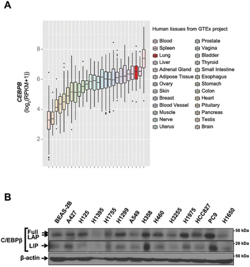 C/EBPβ is expressed in human lung cells.(A) Expression of CEBPB in various human tissues in the dataset from GTEx project. RPKM values were log2 transformed and presented as a box plot for each tissue type. (B) Protein extracts were isolated from a panel of human lung adenocarcinoma cell lines as well as an immortalized human bronchoepithelial cell line, BEAS-2B and subjected to Western blotting.