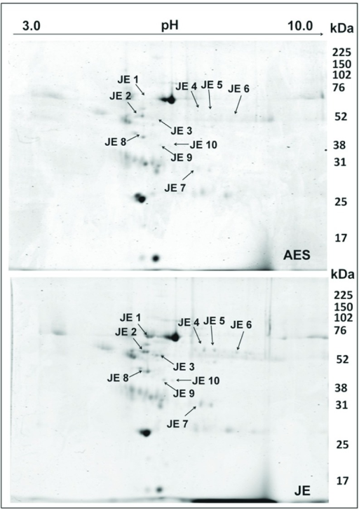 Comparative proteomic analysis of cerebrospinal fluid from AES and JEV patients.Cerebrospinal fluid samples were pooled and proteins were extracted and separated on immobilized linear pH gradient IPG strips (pH 3.0–10.0) and then in the second dimension on 12% SDS-PAGE. Spots exclusively visualized in the JE- CSF were marked and excised, and identified by MALDITOF/MS and database searches. The spots are labeled on the gel according to the numbers presented inTable 2. Images are representative of 4 replicate experiments.