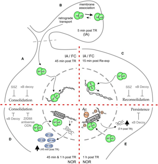 Schematic representation of Hippocampal NF-κB involvement in different phases of memory for different memory tasks. (A–C) Inhibitory Avoidance (IA) and Fear Conditioning (FC). (A) Both in IA and in FC, training (TR) induces an increase in hippocampal NF-κB activity 45 min after TR. Administration of NF-κB inhibitory drugs—κB decoy or sulfasalazine (SSZ)—in hippocampus disrupts long-term memory (LTM) consolidation. (B) When hippocampal synaptosmal preparations were analyzed, a membrane association of NF-κB was observed 5 min post TR in IA paradigm, postulating that synaptic NF-κB not only acts as a retrograde messenger but also has a localized function as well. (C) Memory reactivation induces an increase in hippocampal NF-κB activity 15 min after re-exposure to the TR context (Re-exp), both in IA and FC. Hippocampal κB decoy or SSZ administration also impairs LTM reconsolidation in both tasks. (D–E) Novel Object Recognition (NOR). (D) Training in a NOR paradigm elicits an increment in hippocampal NF-κB activity both at 45 min and 1 h after TR. Moreover, NOR training induces an increment in hippocampal Zif268 protein, which is prevented by κB decoy administration. Both κB decoy and Zif268 antisense oligodeoxinucleotide (ODN) administration in hippocampus impair long-term recognition memory. (E) Strong TR elicits a persistent form of NOR memory which involves an increment in histone (H3) acetylation 1 h after TR, that is not observed after weaker trainings. This H3 acetylation is dependent on NF-κB activity, as κB decoy administration prevents it. In particular, CamkIIδ gene was found to be acetylated in its promoter at an NF-κB consensus sequence, which was concomitantly reversed by NF-κB inhibition. CamkIIδ mRNA levels were found to be augmented 3 h post TR. Hippocampal κB decoy administration impaired memory persistence.