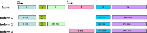 Diagram showing the alternate splice variants of PITX2. The general exon arrangement and promotor location is shown in the top and exon structure of each isoforms are shown subsequently
