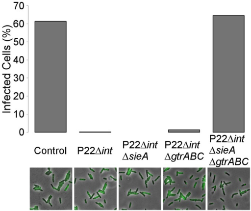 SieA or GtrABC independently account for P22 immunity in P22-free cells.An exponential phase population of LT2ΔpSLT/pALA2705 was infected with either no phage (control) or with the indicated phages (MOI = 10). After 4 hours of semi-continuous growth, cultures were plated on agar pads seeded with P22 parS and after 45 minutes the percentage of cells infected with this phage was scored. Percentages were obtained by analysis of between 508 and 646 single cells per experiment. Below each bar-plot, a representative snapshot of each respective experiment is shown in which phase contrast images (showing the cells) and GFP signal (reporting the P22 parS chromosomes) are merged.