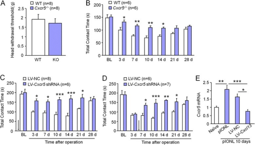 CXCR5 is essential for pIONL-induced mechanical allodynia. a Mechanical sensitivity assessed by Von Frey test was indistinguishable in WT and KO mice. b pIONL-induced mechanical allodynia was significantly reduced in Cxcr5 KO mice, compared to WT mice. *P < 0.05, **P < 0.01. Two-way repeated measures ANOVA followed by Bonferroni test. c Pretreatment with LV-Cxcr5 shRNA increased the contact time between 3 and 21 days after the operation, compared to LV-NC-injected mice. *P < 0.05, ***P < 0.001. Two-way repeated measures ANOVA followed by Bonferroni test. d Posttreatment with LV-Cxcr5 shRNA increased the contact time between 7 and 21 days after the operation, compared to LV-NC treatment. *P < 0.05, **P < 0.01, ***P < 0.001. Two-way repeated measures ANOVA followed by Bonferroni test. e Real-time PCR assay of Cxcr5 shows that pretreatment with LV-Cxcr5 shRNA inhibited pIONL-induced Cxcr5 upregulation. *P < 0.05, **P < 0.01, ***P < 0.001. Student's t test