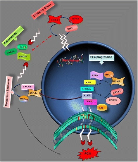 Gene Involved in the signaling pathways which contribute to the development and progression (including invasion, metastasis, and relapse) of PCa: The genes that maintain hemostasis receive attack from pro-oxidative stress genes and genes that are involved in metastasis. DNA damage leads to suppression of antioxidant pro-gene and this gives way to the over-expression of cancer promoting genes