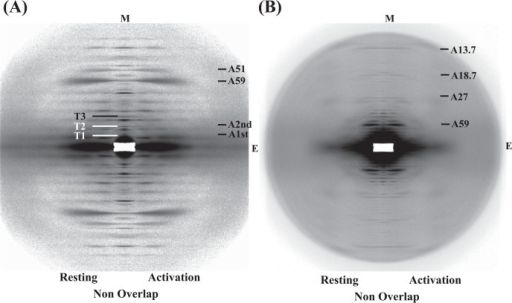X-ray diffraction patterns from live frog skeletal muscles at non-filament overlap length. (A) A comparison of diffraction patterns in the low- to medium-angle region between the relaxed and the activated states, and (B) a comparison of those in the medium- to high-angle region between them. The meridional axis (M) is coincided. E is the equatorial axis. The letter T with an index of the 384 Å repeat denotes the troponin-associated meridional reflections and the letter A with the axial spacing in Ångstrom unit, the representative thin filament-based layer lines.