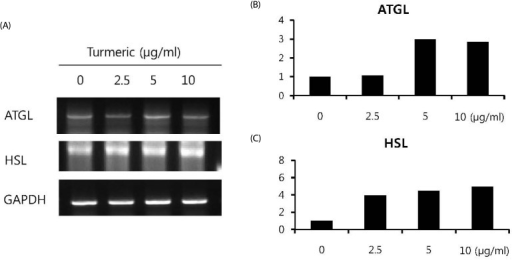 Expression of hormone-sensitive lipase (HSL) and adipose triglyceride lipase (ATGL) mRNA from 3T3-L1 adipocytes stimulated by turmeric extracts.The effect of turmeric extracts on ATGL and HSL mRNA levels were investigated in 3T3-L1 adipocytes after 24 hours of treatment by RT-PCR analysis (A). Representative 2% agarose gel electrophoresis of PCR products stained with ethidium bromide. The right graphs show the mean band densitometry of ATGL or HSL/GAPDH relative expression.