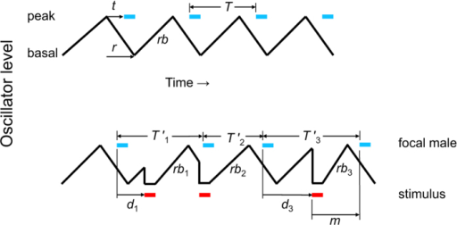 Inhibitory-resetting model for signal interactions between male neighbors in rhythmic acoustic species.Black sawtooth line in upper trace shows the periodic ascent (rb, rebound) and descent of the free-running central rhythm generator. After an effector delay t following ascent to the peak level, a call (thick blue dash) is broadcast; meanwhile the generator descends to its basal level over interval r. Calls are repeated rhythmically with a period T. Lower trace shows the same central rhythm generator as it is repeatedly inhibited and reset by a stimulus (male neighbor or acoustic playback; thick red dash). T′ is the modified call period following a stimulus. The rebound rb from inhibition following a stimulus steepens when the stimulus occurs after a longer post-call delay d; rb is steepest (rb3) when the stimulus occurs just as the rhythm generator has ascended to its peak level (following post-call delay d3), yielding the shortest post-stimulus delay for the focal male's next call. This minimum post-stimulus call delay is designated m. The model is adapted from ref. 21 and was derived from results in extensive playback experiments with various species, including E. diurnus.