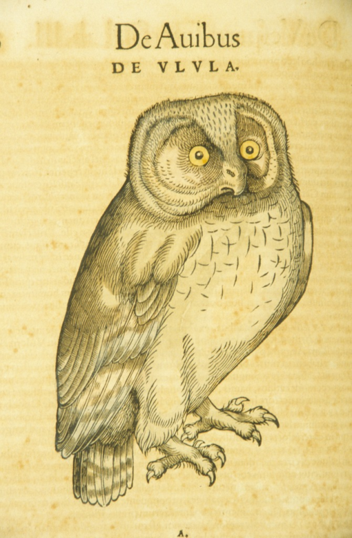<p>Hand-colored woodcut of the owl.</p>