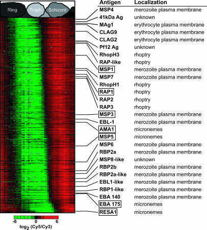 Phaseogram of Putative Vaccine TargetsThe similarity of all expression profiles to seven known vaccine candidates (boxed) was calculated. The top 5% of similar profiles correspond to 262 ORFs, 28 of which have been previously associated with plasmodial antigenicity and the process of merozoite invasion.