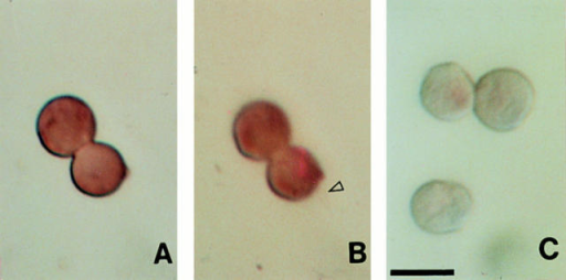 (A and B) Distribution of a nonspecific mRNA in 70min cells. A PstI fragment of pcNg 3-28 (20) was labeled with  DIG, and the location of this mRNA was determined as in Fig. 1.  The same cells were observed using DIC optics at two different  focal planes to show the flagella. (C) 70-min cells were stained  with alkaline phosphatase–conjugated anti-DIG antibody after  hybridization in the absence of a DIG-labeled probe. Bar, 10 μm.