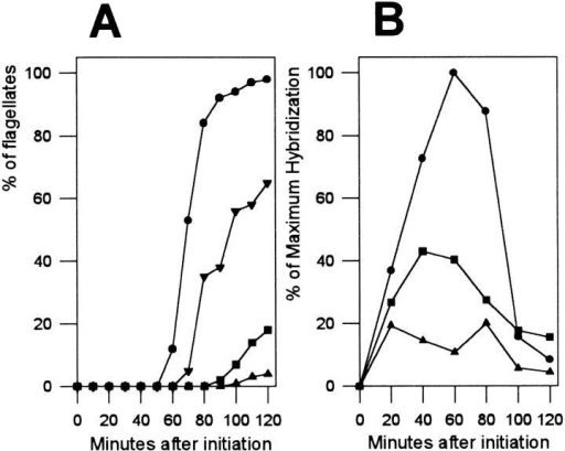 Effect of cytochalasin D on the differentiation of Naegleria gruberi. (A) Dose-dependent inhibition of Naegleria differentiation by cytochalasin D. Cytochalasin D (5 mg/ml in dimethylsulfoxide) was added at the beginning of differentiation to  make a final concentration of 20, 50, or 100 μg/ml. The differentiation was monitored as described in Materials and Methods. •,  control; ▾, 20 μg/ml; ▪, 50 μg/ml ▴, 100 μg/ml. (B), Effects of cytochalasin D on accumulation of β-tubulin mRNA. RNA was  prepared from the control and cytochalasin D–treated cells, and  the amount of β-tubulin mRNA was estimated by RNA slot blot  hybridization (5 μg RNA/slot) using 32P-labeled β-tubulin cDNA  as a probe (2). •, control; ▪, 50 μg/ml; ▴, 100 μg/ml.