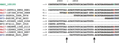 A portion of the CROSS_MATCH-produced, template-driven, padded alignment between B73 and Mo17 454 EST sequences and the high-quality MAGI_105195 sequence assembly constructed from the B73 maize genomic survey sequence that serves as an alignment template. A G/A polymorphism occurs at position 2846 of the template (green highlight), with the Mo17 allele (A) in red and the B73 allele (G) in blue. Two insertions have occurred (yellow), one within a Mo17 454 EST and the second within a B73 454 EST. Because these insertions are not supported by other sequences, they are easily identified as errors by the POLYBAYSE pipeline and are not called as polymorphisms.