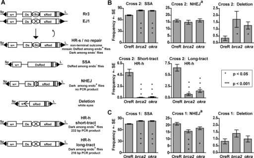 brca2 Mutations Dramatically Decrease HR-h Repair, Increase SSA Repair, and Result in Increased Deletion Formation(A) The Rr3 assay measures the relative repair pathway usage for repair of I-SceI endonuclease-cut breaks in the pre-meiotic germline of Drosophila males. The Rr3 transgene contains an I-SceI site flanked by two partial copies of dsRed. One dsRed copy contains a 147 bp duplication. Repair by SSA reconstitutes dsRed and results in red fluorescent progeny. Repair by NHEJ modifies the I-SceI site and results in progeny that are dark regardless of the presence of the endonuclease. The EJ1 transgene is a variant of Rr3 which has a non-functional I-SceI site and a 16 bp deletion 156 bp from the I-SceI site. Progeny resulting from repair by HR-h are also dark even when the endonuclease is present and can be distinguished from NHEJ by PCR. PCR analysis also distinguishes between short and long tract HR-h; long-tract HR-h results in the inclusion of the deletion on EJ1 and a smaller product. Deletions are measured by the loss of the w+ marker.(B) In Cross 2, the EJ1 chromosome was present, and repair by HR-h could occur. Error bars represent the standard errors between individual males; P-values were calculated using a permutation test described in [31]. Number of males/total Rr3-carrying progeny counted for OreR, brca2, and okra, respectively: 72/3861, 72/3163, and 78/3486.(C) In Cross 1, the EJ1 chromosome was not present, and repair by HR-h was not available. Number of males/total Rr3-carrying progeny counted for OreR, brca2, and okra, respectively: 66/7103, 67/6054, and 65/5546.aThe deletion class was not isolated prior to sorting and therefore represents a small portion of the NHEJ class.