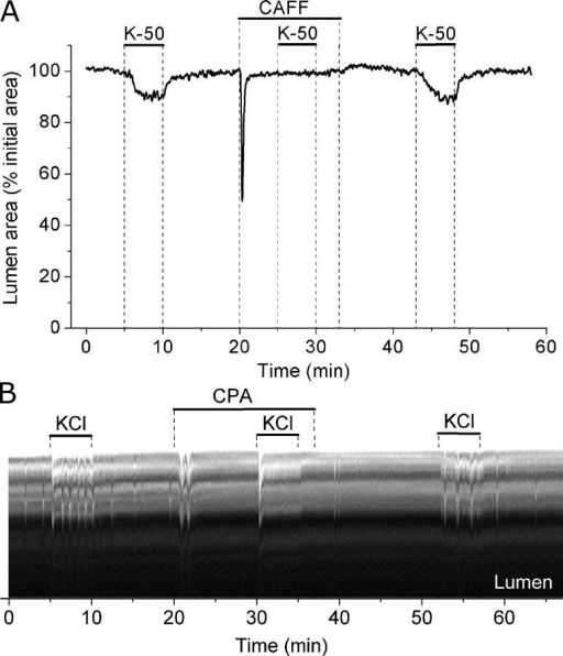 Effect of caffeine and CPA on airway contraction induced by KCl. (A) Airways were sequentially stimulated with 50 mM KCl in the absence or presence of 20 mM caffeine (top bars). (B) A line-scan obtained from phase-contrast images in a region similar to that shown by the dotted line in Fig. 5 A during sequential stimulation with KCl in the absence or presence of 10 μM CPA (top bars). Twitches induced by KCl are observed as transient signals toward the lumen of the airway and represent the local displacement of cells produced by the contraction of one or a few SMCs. A few spontaneous twitches were observed before exposure to KCl. Representative data of at least four experiments from different slices from three mice.