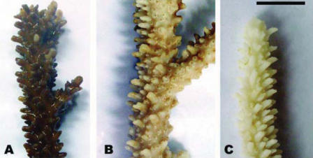 Effect of 100-μL sunscreens on Acropora divaricata nubbins after 24-hr incubation at various temperatures. (A) control; (B) nubbins incubated at 28°C; and (C) nubbins incubated at 30°C. Scale bar = 1 cm.