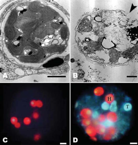 Zooxanthellae release from hard corals in control and sunscreen addition samples. (A) TEM images of healthy zooxanthellae (intact cell structure and membrane) in control untreated Acropora nubbin, and (B) zooxanthellae damaged by sunscreen treatment: cells appear swollen and vacuolated, without chloroplasts and double the size of the controls; the thylakoids are unpacked and dispersed inside the cells, and cell-membrane integrity is lost (arrowhead). (C) Autofluorescence images showing healthy (red) zooxanthellae in control sample and (B) some healthy (H) and damaged and partially damaged (T, transparent and pale) zooxanthellae released after sunscreen treatment. Scale bars = 2 μm (A, B) and 5 μm (C, D).