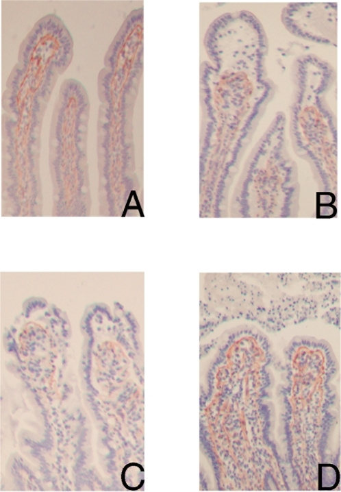Characterization of the basement membrane with collagen IV staining in red (AEC) shows collagen IV positive cells directly beneath the epithelial layer in control jejunum (100×).(A). Upon 30 minutes of ischemia, a clear retraction is found of the collagen IV positive cells from the basal pole of the epithelial cells at the tip of the villus, causing subepithelial spaces (B). After 25 minutes reperfusion, the retracted basement membrane is still observed (C). Within 60 minutes reperfusion, the collagen IV positive basement membrane is again attached to the epithelial lining (D).