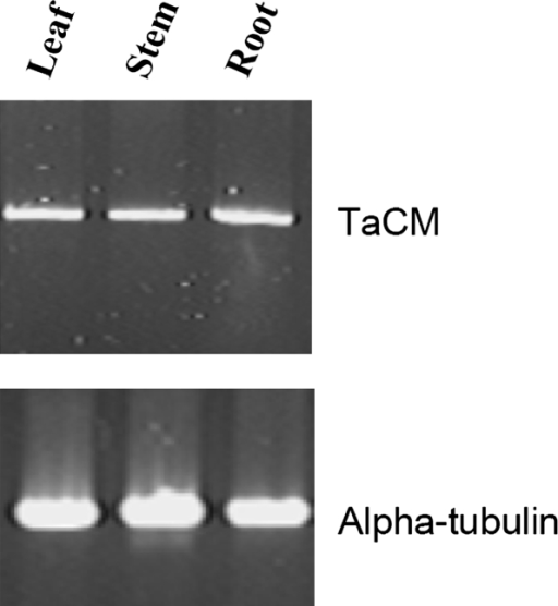 RT-PCR analyses of TaCM gene expression in various wheat tissues. RT-PCR was performed using the gene-specific primers. Alpha-tubulin RT-PCR was included as a control.