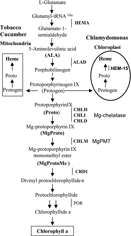 Scheme of the tetrapyrrole biosynthetic pathway in Chlamydomonas reinhardtii and vascular plants. Shown are the major intermediates and the genes mentioned in the text. Dashed lines indicate multiple steps