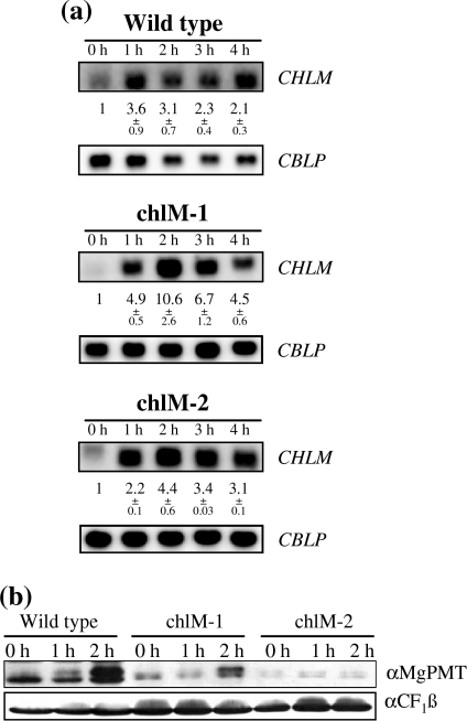 Light induction of CHLM in wild type and mutants. a mRNA accumulation in cultures that after growth in the dark were shifted into dim light (15 μmol m−2 s−1). Samples were taken at the time points indicated (hours). RNA gel blots were performed as described in Materials and methods using specific probes for CHLM and CBLP, the latter serving as a loading control. The average fold induction of mRNA relative to the dark control (corrected for differences in loading) from 9 independent experiments ±SEM were determined. b Changes in MgPMT upon shift of cultures from dark to light. For the assay of MgPMT, total soluble protein was extracted from cultures grown in the dark and after exposure to light (15 μmol m−2 s−1) for one or 2 h. After blotting, the proteins were detected by immunodecoration with MgPMT-specific antibodies. The weak signal seen in chlM-2 mutant extracts may reflect an unspecific reaction since it was not seen in Fig. 1c and also does not increase upon light incubation. For a loading control, the same membrane was decorated with an antiserum directed against the chloroplast ATPase subunit CF1β