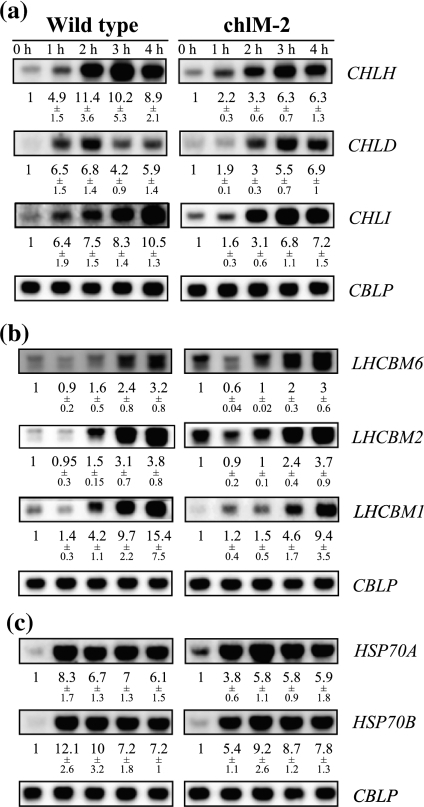 Effect of mutation chlM-2 on gene expression after a shift from dark to light. Cultures of wild type and the chlM-2 mutant grown in the dark at time 0 were shifted into dim light (15 μmol m−2 s−1) and samples for RNA isolation were taken at the time points indicated (hours). The average levels of mRNA accumulation relative to the dark control and corrected for differences in loading ±SEM from at least 3 independent experiments are indicated. CBLP served as a loading control. a Test for light induction of Mg-chelatase genes. b Test for light induction of genes encoding light harvesting chlorophyll a/b binding proteins. c Test for light induction of HSP70 genes