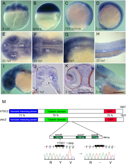 Zebrafish tsc2 is maternally and zygotically expressed during development. (A–D) Ubiquitous expression of wild-type tsc2 at the eight-cell (A), sphere (B), 75% epiboly (C) and five-somite (D) stage. (E–H) At 25 hpf, tsc2 expression is detected in discrete regions of the developing eye and forebrain and midbrain (E), lateral part of the hindbrain (F), otic vesicle (F,G), pharyngeal arch (G), and blood vessels (H). (I) At 32 hpf, tsc2 expression is maintained in the eyes and brain. (J) Transverse section of the hindbrain region shows that tsc2 expression is limited to the ventrolateral region in wild-type embryos. (K,L) At 3 dpf, tsc2 expression is detected in the eye (K), heart and intestine (L). (M) Structure of the predicted protein domains of wild-type human TSC2 and zebrafish tsc2. The vu242 mutation causes a premature stop codon within exon 26. Blue indicates the hamartin-interacting domain, green the tuberin domain and red the GAP domain. fb, forebrain; mib, midbrain; hib, hindbrain; bv, blood vessel; h, heart; i, intestine; ov, otic vesicle. Scale bars: 250 μm (bar in K is for J, K; bar in L is for A–I, L). (A–D,H,I,L) Lateral views; (E,F) dorsal views; anterior to the left.