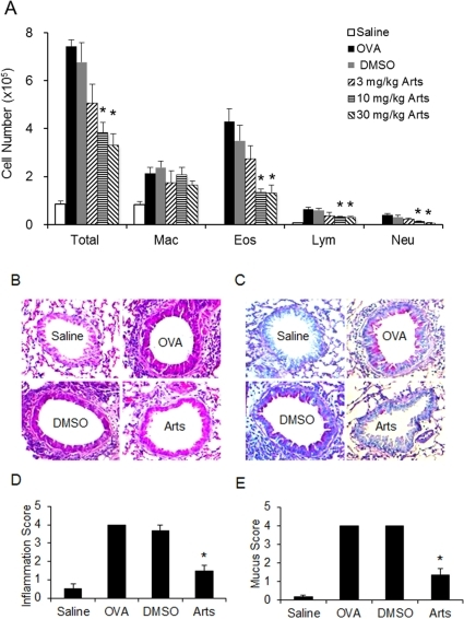 Effects of artesunate on OVA-induced inflammatory cell recruitment and mucus hypersecretion.(A) Inflammatory cell counts in BAL fluid obtained from sensitized mice 24 hours after the last saline aerosol (n = 7 mice) or OVA aerosol (n = 9 mice) challenge. Artesunate dose-dependently reduced OVA-induced inflammatory cell counts in BAL fluid from sensitized mice 24 hours after the last OVA aerosol challenge (DMSO, n = 9; 3 mg/kg, n = 7; 10 mg/kg, n = 9; and 30 mg/kg, n = 10). Differential cell counts were performed on a minimum of 500 cells to identify eosinophil (Eos), macrophage (Mac), neutrophil (Neu), and lymphocyte (Lym). Histological sections of lung tissue eosinophilia (B, magnification×200) and mucus secretion (C, magnification×200) 24 hours after the last challenge of saline aerosol, OVA aerosol, OVA aerosol plus DMSO, or OVA aerosol plus 30 mg/kg artesunate were evaluated. Quantitative analyses of inflammatory cell infiltration (D) and mucus production (E) in lung sections were performed as previously described [56]. Scoring of inflammatory cells and goblet cells was performed in at least 3 different fields for each lung section. Mean scores were obtained from 4 animals. *Significant difference from DMSO control, p<0.05.