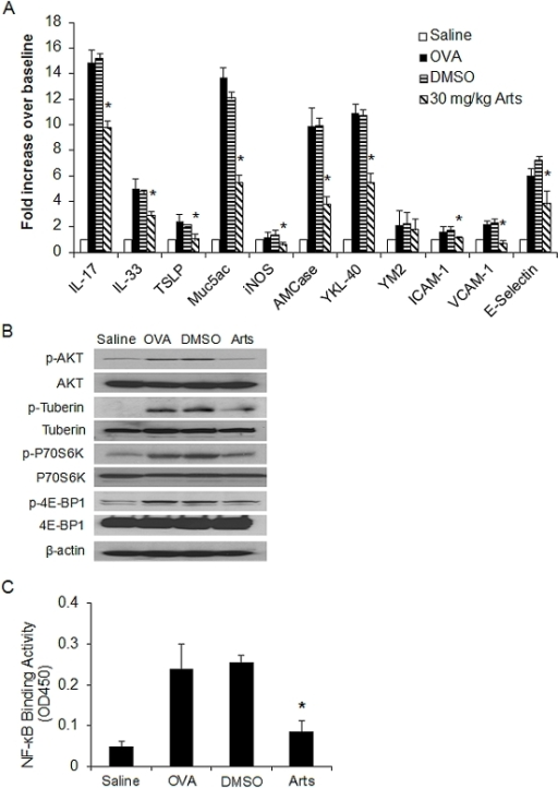 Effects of artesunate on OVA-induced inflammatory gene expression, PI3K/Akt activation and NF-κB DNA-binding activity in allergic airway inflammation.(A) Lung tissues were collected 24 hours after the last OVA aerosol challenge. Total mRNA was extracted using TriZol reagent and the quantitative real time PCR was performed. All reactions were run in triplicate and three independent experiments for each target. The relative quantity of target gene expression was automatically normalized by GADPH as an internal control and values shown were the ratios of various treatments to saline group. (B) Immunoblotting of Akt, tuberin, p70S6K and 4E-BP1 in protein extracts of lung tissues isolated from mice 24 hours after the last saline aerosol or OVA aerosol challenge pretreated with either DMSO or 30 mg/kg artesunate. β-actin was used as an internal control. The experiments were repeated for three times (n = 3 mice) with similar pattern of results. (C) Nuclear p65 DNA-binding activity was determined using a TransAM™ p65 transcription factor ELISA kit. Values shown are the mean ± SEM of four separate experiments. *Significant difference from DMSO control, p<0.05.