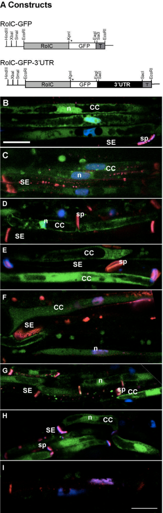 GFP Localization in RolC-GFP transgenic plants. GFP fluorescence was detected on longitudinal hand sections of transgenic tobacco petiole under CLSM and co-stained with DAPI and aniline blue. A) All constructs were prepared in a modified pGPTV-HPT under the control of the CC-specific, RolC, promoter. The asterisk indicates the position of the start codon. T, nos terminator. B) RolC-GFP petiole, C) RolC-GFP-3'-UTR petiole, D) major vein of mature leaf of RolC-GFP transgenic plant, E) sink leaf (1 cm long) of RolC-GFP transgenic plant, F) leaf petiole of a sink leaf of RolC-GFP transgenic plant, G) Stem of RolC-GFP transgenic plant, H) Veins of an unopened flower of RolC-GFP transgenic plant. I) Untransformed wild type tobacco leaf petiole visualized with the average PMT level used for the above images. CC, companion cell; SE, sieve element; sp, sieve plate; n, nucleus. Bar equals to 10 μm.