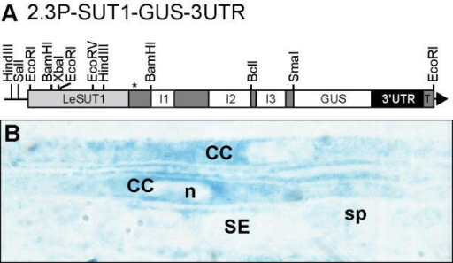 GUS localization in 2.3P-SUT-GUS-3'-UTR. The construct was prepared in pGPTV-HPT binary vector under the control of a 2.3 kb fragment of LeSUT1 promoter fused to the genomic sequence of LeSUT1, to GUS gene and to the 3'-UTR. The asterisk indicates the position of the start codon. I, intron; T, nos terminator.
