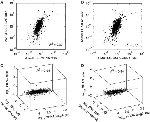 Multivariate linear correlation among the relative abundances of mRNA, RNC-mRNA and protein. (A and B) Bivariate correlation comparing mRNA (A) and RNC-mRNA ratios (A549/HBE) (B) with SILAC ratio (A549/HBE), respectively. (C and D) Multivariate linear model, fitting SILAC ratio (A549/HBE), mRNA length and RNC-mRNA ratio (A549/HBE), calculated based on rpkM (C) and edgeR (D) normalizations regarding RNA-seq data. The viewpoints were on the fitted planes.