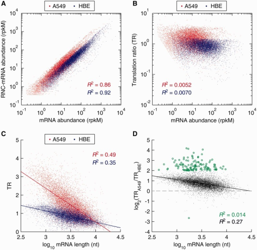Distribution and correlation analysis of mRNA TRs, comparing A549 cells with HBE cells. (A) Correlation of mRNA and RNC-mRNA abundances in A549 and HBE cells, respectively. (B) Correlation of mRNA ratio (A549/HBE) and RNC-mRNA ratio (A549/HBE). (C) Correlation of TRs and mRNA lengths. (D) Correlation of TR fold changes (A549/HBE) and mRNA lengths. The genes with TR ratio changes greater than 4 folds are indicated by green dots.
