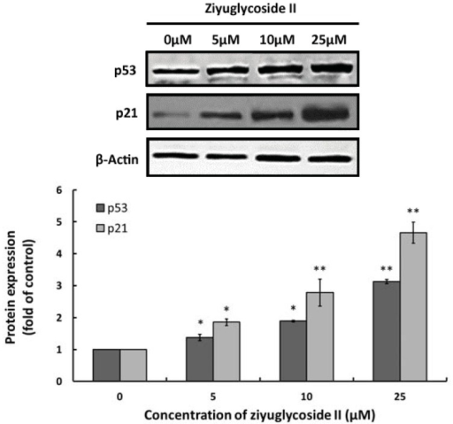 The effect of ziyuglycoside II on expressions of p53 and p21. Cells were incubated with various concentrations of ziyuglycoside II for 24 h and the expressions of p53 and p21 were assessed by Western blot analysis. (Upper panel) Immunobloting of p53 and p21, while β-actin was probed as the protein loading control; (Lower panel): Densitometry analysis of p53 and p21 protein expression. All data were expressed as mean ± SD of three experiments and each experiment included triplicate repeats. * p < 0.05, ** p < 0.01 vs. control.