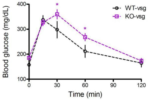 Glucose tolerance in FXR-VSG and WT-VSG miceWhen the glucose excursion of WT-VSG and KO-VSG mice are compared directly, KO-VSG mice exhibit significantly impaired glucose clearance at both 30 and 60 minutes. Data are shown as mean ± SE. *= p< 0.05. n= 10 per group.