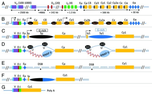 "Figure 1. class switch recombination at the Immunoglobulin Heavy Chain locus. (A) The configuration of the unrearranged immunoglobulin heavy chain locus in immature B cells according to NG_005838.1. Here, VH, DH and JH represent the various unrearranged gene segments that will generate the VDJ exon following V(D)J recombination and are followed by the various constant regions genes (Cμ-α, yellow boxes). Each constant region gene is preceded by a switch sequence (Sμ-α, black oval); switch sequences are non-coding regions transcribed by their own transcriptional regulatory promoter elements. Two important regions that have enhancer functions and influence various recombination events in the IgH locus are shown in a blue box and are labeled as Eμ and Eα (also known as 3′ regulatory region, 3′RR). (B) Following V(D)J recombination, various B cell signaling pathways induce transcription at switch sequence promoter regions. Transcription at the upstream switch sequence Sμ is constitutive whereas transcription at the downstream switch sequence (in this case, Sγ1) is induced due to activation of its promoter elements by various signaling pathways. (C) A schematic of a simplified IgH locus that is poised to undergo CSR to IgG1 following transcription activation at Sμ and Sγ1. A region of the switch sequences, known as the core switch region (G-rich on the non-template strand), is capable of forming stable RNA/DNA hybrids that lead to ssDNA structure ""R-loop"" formation. (D) Transcription at switch sequences induces formation of R-loops which become targets for AID activity. AID converts cytidine residues to uracils, that are then recognized by the base excision pathway uracil DNA deglycosylase (UNG). (E) UNG activity induces generation of abasic residues that are then cleaved by the apurinic endonuclease family of proteins (APE1/2) to generate DNA double strand breaks (DSBs) at both upstream (Sμ) and downstream (Sx, in this case, Sγ1) switch sequences. (F) Recognition of these two DSBs by two cellular DNA damage repair pathways known as non homologous end-joining (NHEJ) and alternative end joining (AEJ) leads to joining of the two distant switch sequences that have DSBs leading to the completion of CSR. (G) The final configuration of the antibody heavy chain molecule coding mRNA is shown."