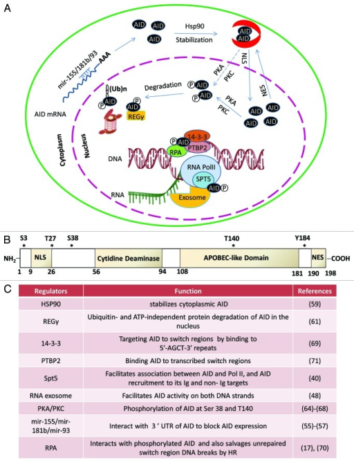 Figure 3. Subcellular control of AID activity by various post-transcriptional regulatory pathways. AID mRNA is recognized by two miRNAs (miR-155, miR-181) that bind to its 3′UTR to regulate AID mRNA translational efficiency and prevent AID hyperactivity caused by its overexpression.55-58 One proposed mode of cytoplasmic AID protein regulation is the chaperone complex HSP9059 and EF1a,60 controlling AID's ability to translocate into the nucleus of B cells. AID uses its nuclear localization signal (NLS) to translocate into the nucleus where its steady-state nuclear protein levels are further controlled by another chaperone, REGγ 61. AID translocated in the nucleus can have multiple fates that include its ubiquitination62,63 and its phosphorylation at various serine, threonine, or tyrosine residues (see (B) for details of known phosphorylation sites64-68). Phosphorylated AID forms a complex with its cofactors 14–3-369 and RPA17,70 and PTPBP271 and binds to the stalled RNA polymerase II complex (marked by RNAP II stalling marker Spt5)40 at AID target sequences, where it interacts with the DNA/RNA hybrid and the 3′-5′ RNA exonuclease, RNA exosome.48 It is postulated that the macromolecular complex RNA exosome provides AID the ability to deaminate both strands of its DNA substrate by processing the RNA present in the RNA/DNA hybrid associated with the transcription complex. The DNA DSBs in the immunoglobulin switch regions are intermediates that ultimately are utilized by the cellular DNA DSB response factors to complete CSR. (B) Schematic representation of AID phosphorylation sites along with AID's cytidine deaminase domain, nuclear localization signal (NLS), APOBEC-like region, and nuclear export signal (NES) motif. (C) A detailed chart of various regulatory elements of AID that are known to directly control its activity. The protein factors and AID modifications are schematized in (A). The mRNA stability of AID is regulated by various miRNAs, as indicated in (C).55-58