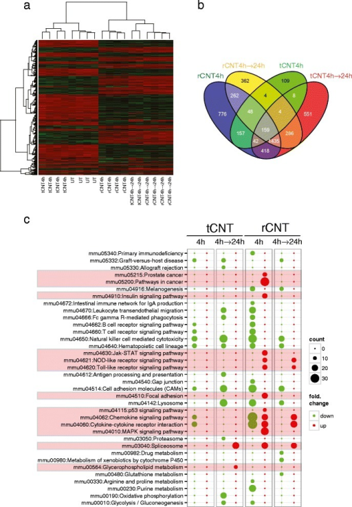 "Transcriptome analysis of lung tissue reveals rapid activation of innate immune system in response to inhaled rCNT. a: heatmap of differentially expressed genes (linear FC > /1.5/, post hoc adjusted P-value = 0.01) in lungs of mice exposed to rCNT or tCNT for 4 h and sacrificed either immediately after exposure or on the following day. Genes are arranged by hierarchical clustering analysis. Untreated (UT) and tCNT-exposed lung samples share similar expression patterns shortly after 4-h exposure. Red color indicates higher expression while green denotes lower expression. b: Venn diagram of the microarray results summarizing the numbers of differentially expressed genes (linear FC > /1.5/, post hoc adjusted P-value = 0.01) in lung tissue after 4 h exposure to CNT. The diagram shows that rCNT cause a markable expression of multiple distinct genes already after 4-h exposure (776 genes) while the number of genes specific to tCNT is notably lower (109 genes). c: pathway bubble-plot shows that inhalation of rCNT activates several innate immunity-associated pathways after the 4 h exposure. The diameter of each circle represents the number of genes annotated in each pathway (legend ""count""). Red color indicates up-regulated pathways and green color down-regulated pathways compared to untreated controls."