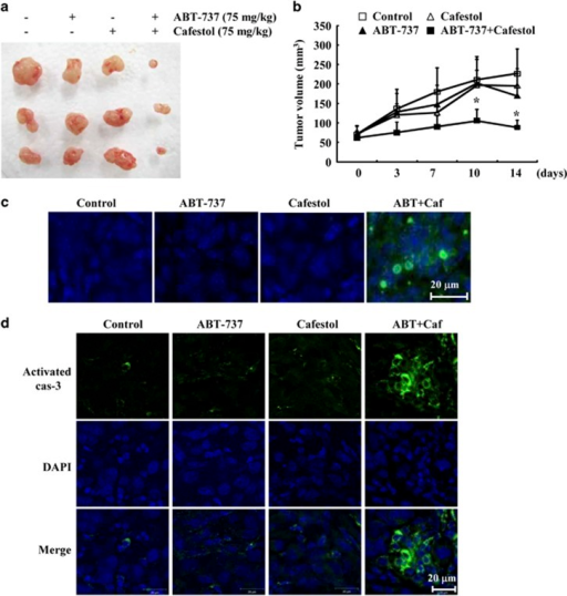 Tumor growth in vivo is reduced by combined treatment with cafestol and ABT-737. Nude mice were s.c. inoculated with Mcl-1-overexpressed cells. Tumor volume was monitored during the following treatments: vehicle, ABT-737 (75 mg/kg; i.p.), cafestol (75 mg/ml, i.p.), or ABT-737 plus cafestol for 14 days. (a) Tumor size shows the size of the dissected out tumors. (b) Graph shows tumor volume changes. Number of animals per group=7. Data are means±S.E. (n=7). (c) Representative images of tumor sections that were analyzed by TUNEL assay. Nuclear staining was performed with DAPI. (d) Immunohistochemical analysis of activated caspase-3