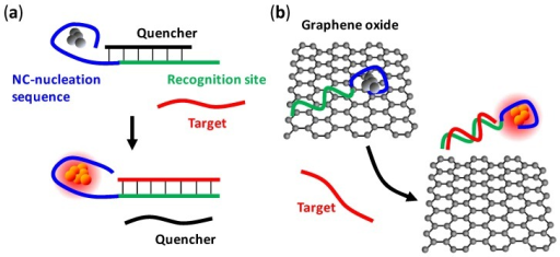 (a) Representation of a quencher-mediated turn-on probe. After the quencher (black) is displaced by the target (red), fluorescence is enhanced by a proportional increase in the number of emissive clusters in the sample [80]. (b) Representation of a DNA detection assay using DNA/Ag NCs and graphene oxide (GO) nanohybrids. DNA/Ag NCs serves as a reporter while GO is a quencher. Silver clusters templated on the ssDNA are initially quenched by the GO. Once the adsorbed probe hybridizes with a target, the duplex is released from the GO and the fluorescence of the silver cluster is restored [83].