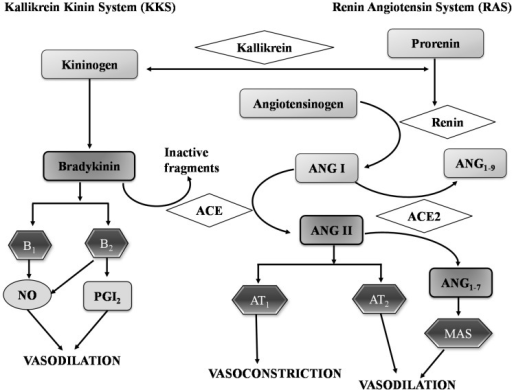 Renin-angiotensin system and kallikrein kinin system to regulate of blood pressure. Angiotensin I (Ang I), Angiotensin II (Ang II), Angiotensin converting enzyme (ACE), Angiotensin converting enzyme 2 (ACE 2), Angiotensin receptor 1 (AT1), Angiotensin receptor 2 (AT2), Bradykinin receptor 1 (B1), Bradykinin receptor 2 (B2), Nitric oxide (NO), Prostaglandins 2 (PgI2). Figure 1 modified from [63].